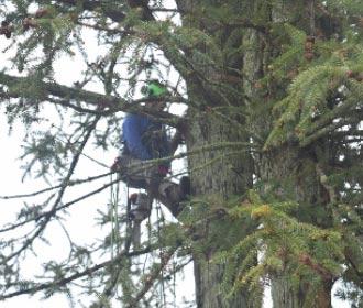 大木の枝打ち様子